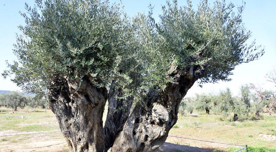 Toprağından sökülmüş odun olarak satılmak üzereyken kurtarılan 800 ve 1200 yaşlarındaki İki ağaç zeytin verdi