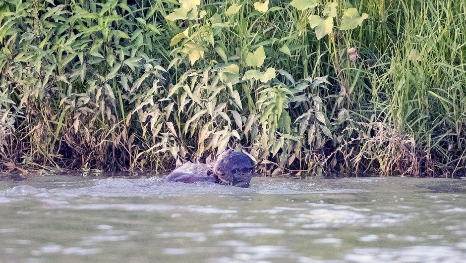 Dicle Nehri'nde 3 su samuru görüldü