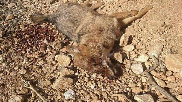 Elazığ'da nesli tükenmekte olan ve en son 30 yıl önce görülen çakalı silahla vurarak katlettiler!