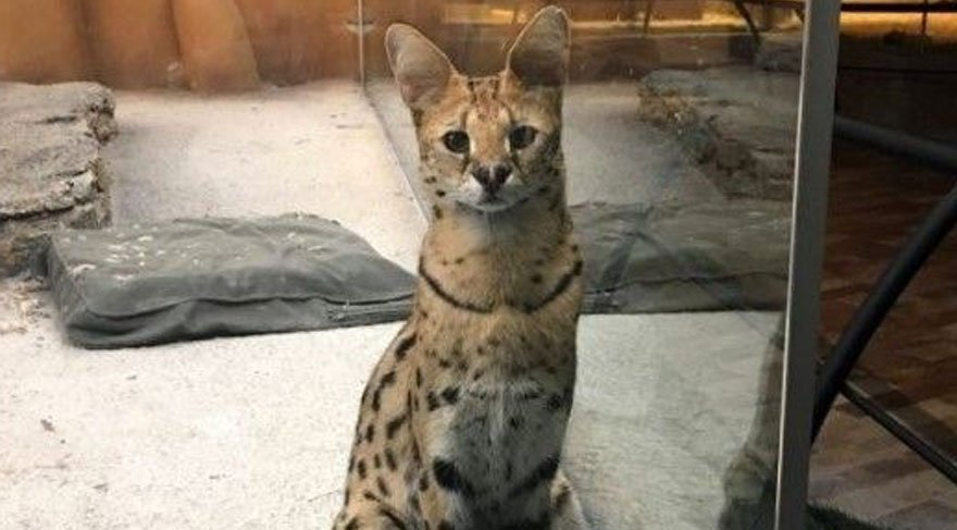 Ankara'da, yer altında bir garip Serval kedisi…