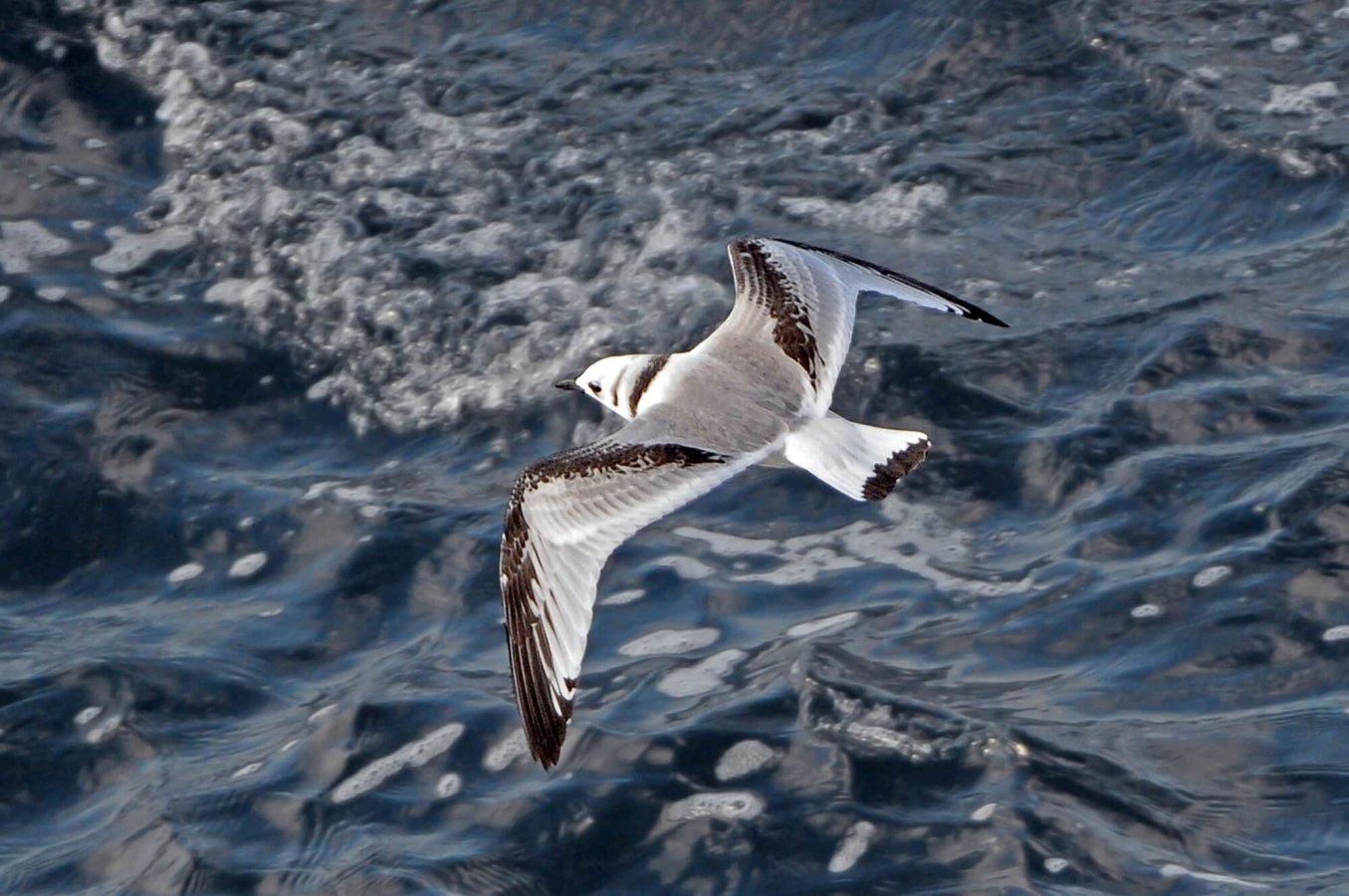 Açık denizlerde dolaşan deniz kuşları hızla yok oluşa sürükleniyor