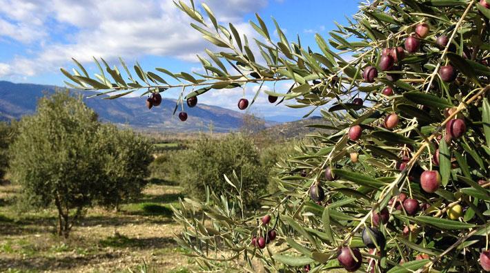 Zeytinlik alanların talanına KHK kalkanı: Uzmanlar tehlikeyi anlattı