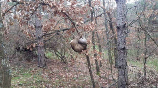 Kırklareli'nde karacayı vurup ağaca asan kişiye bin 455 lira para cezası