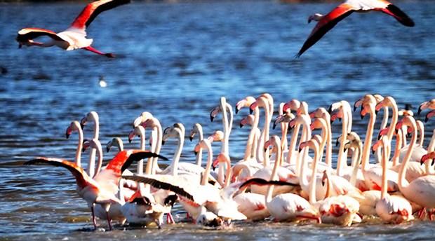 Bodrum'da avcılığa karşı alınan önlemler sayesinde flamingo sayısı 6 bine ulaştı