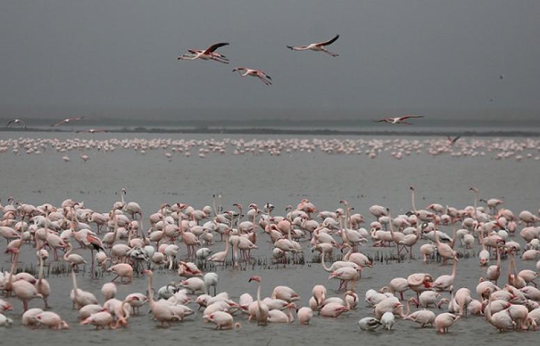 Gala Gölü'nün pembe misafirleri, flamingolar