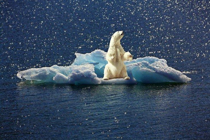 'Kutup ayıları korkulandan daha hızlı tükenebilirler'