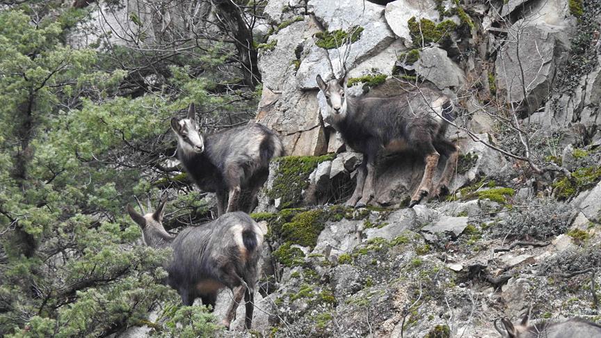 Koruma altına alınan çengel boynuzlu dağ keçisi sayısı artıyor