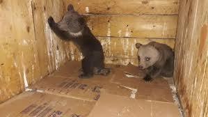 Artvin Borçka ilçesinde vatandaşların bulduğu 2 yavru ayı Doğa Koruma ve Milli Parklar ekiplerine teslim edildi
