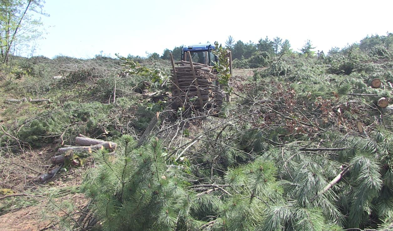 Çanakkale Kirazlı'da ağaç katliamına suçüstü!