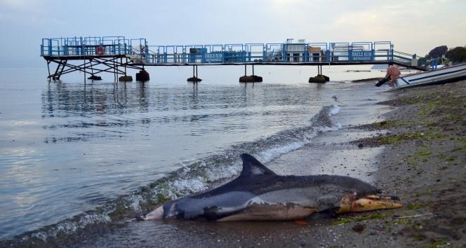 Marmara Denizi'nin Tekirdağ sahiline ölü yunus balığı vurdu