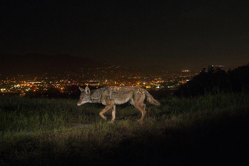 Hayvanlar 'insan korkusu'ndan gece aktivitelerini artırıyor