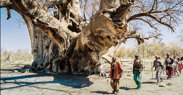Binlerce yaşındaki dev Afrika baobab ağaçları ani bir şekilde hayatını kaybetmeye başladı