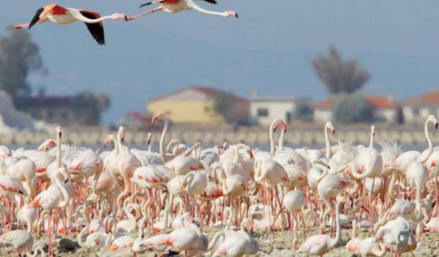 Flamingoları tehdit eden Körfez Geçiş Projesi bilirkişi raporu: Geri dönüşü imkânsız zararlar verir