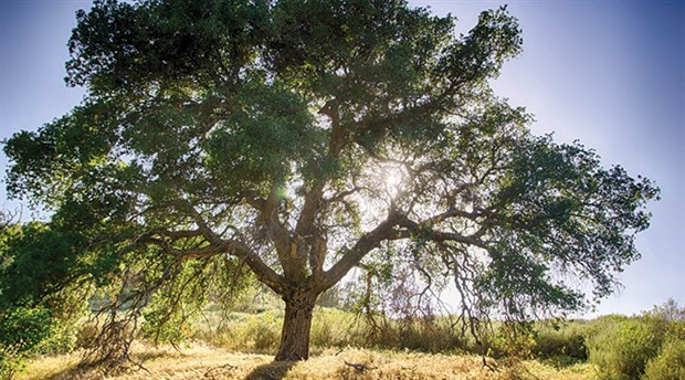 Kum ocağının kapasite artışı için büyük çevre katliamı: 180 bin meşe ve fıstık ağacını kesecekler!