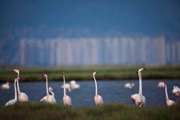 Flamingoların yuvası Gediz Deltası'nda hukuk zaferi: Körfez geçiş projesi hakkında yürütmeyi durdurma kararı verildi