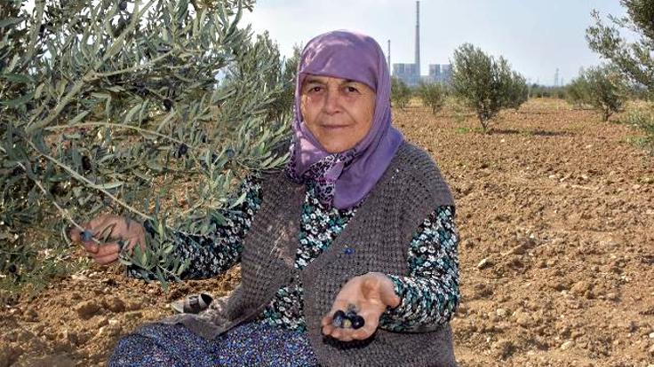 Yırca'da termik direnişi sonrası yeniden dikilen zeytinlikte ilk hasat