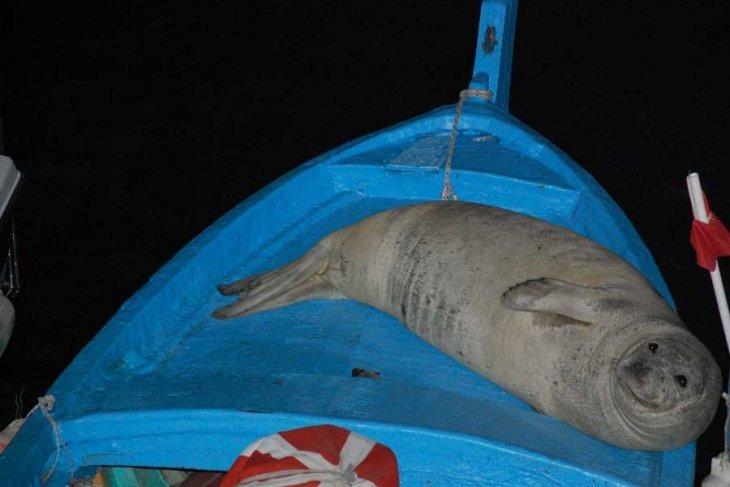 Karabiga'da 'yok' denilen Akdeniz fokları fotokapanda
