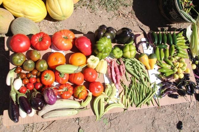 Pazarda hiç yerli tohum ürünü kalmadı!