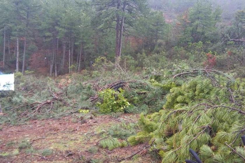 Binlerce ağacı katleden maden şirketi faaliyetini durdurdu