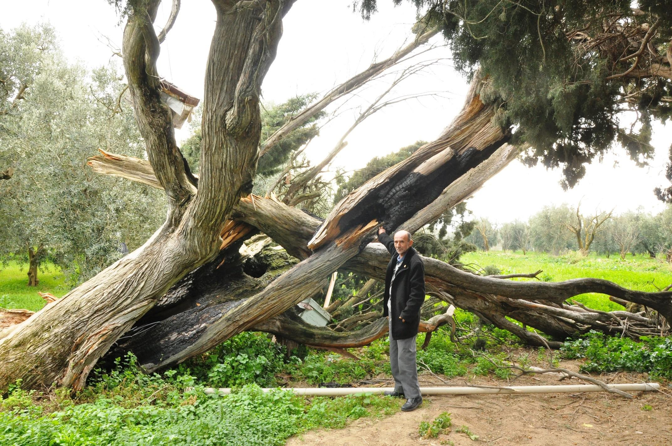 Doğa düşmanları Bursa'da 700 yıllık servi ağacını yaktılar