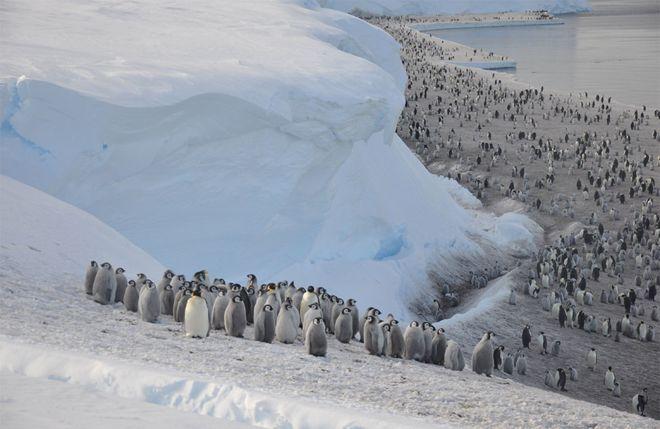İklim krizi binlerce yavru penguenin boğularak ölmesine sebep oldu