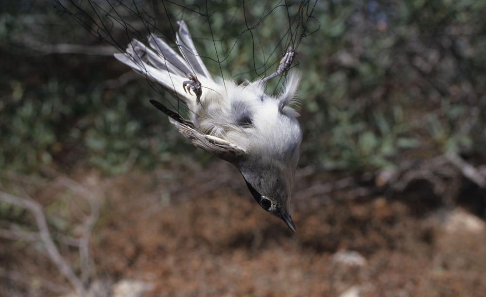 Milyonlarca kuş göç yolu üzerine kurulan ağlarla yakalanıp öldürülüyor