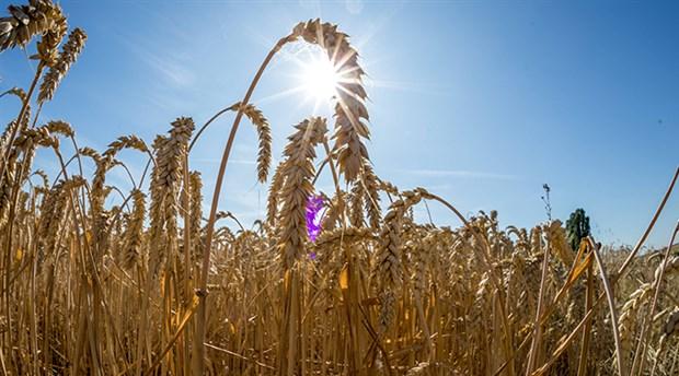 Plansız ve kar odaklı tarımsal üretimin bedeli ağırlaşıyor: Rusya buğdayının müşterisi Türkiye