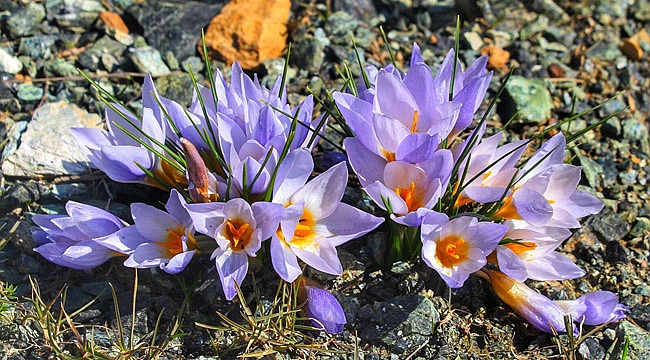 Kuzey Ormanları'nın Samanlı Dağları'nda yeni endemik bitki türü keşfedildi