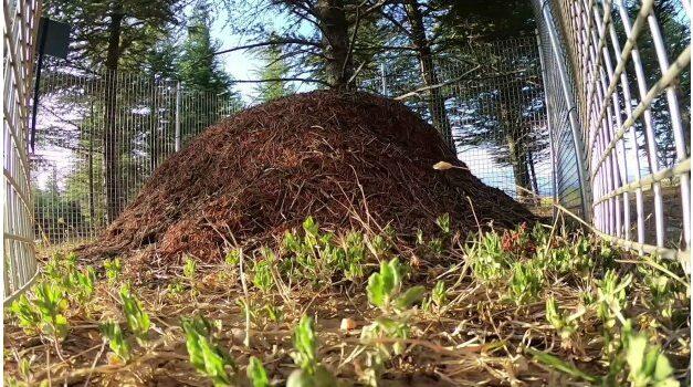 İki ülke kırmızı orman karıncaların yaşamına yaşam kattı!
